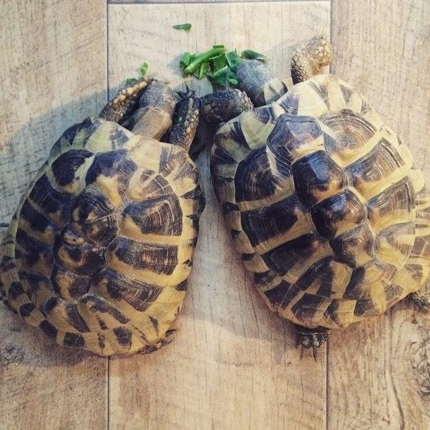 tortoises, hermannstortoise