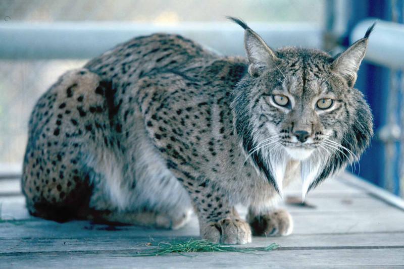 Lynx cat - photo#25