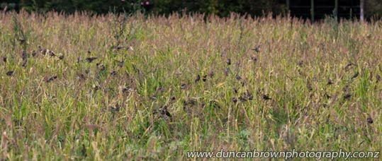 Sparrow feast in Eskdale photograph