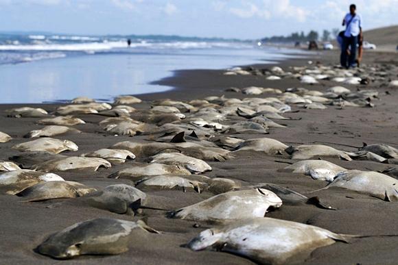 Centenas de raias aparecem mortas em praias mexicanas