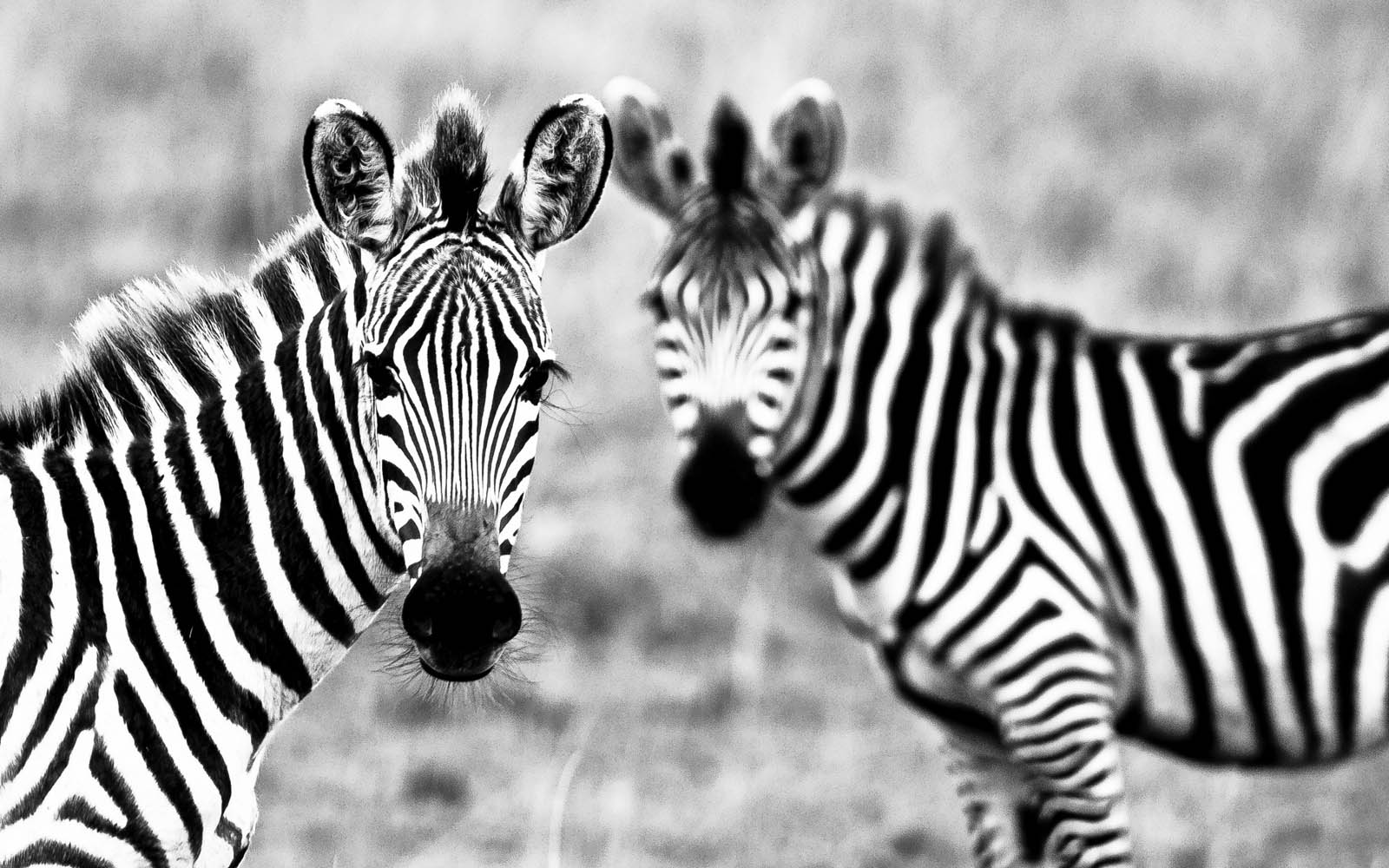 wallpapers: Zebra Wall...