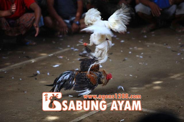 Hasil Pertandingan Arena AR1 Sabung Ayam S1228.net 12 November 2015