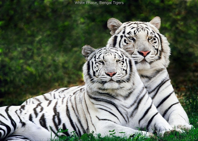 white tiger wallpapers. white tiger wallpaper