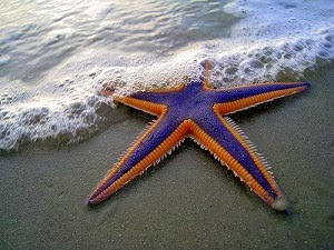 Purple and Orange Starfish on the Beach by Mark Walz