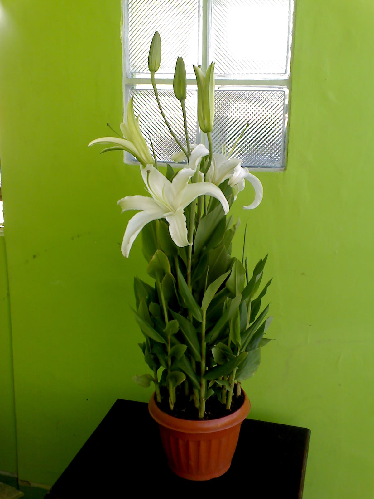 Flowers in the philippines stargazer lily white according to wikipedia lilium stargazer the stargazer lily is a hybrid lily of the oriental group oriental lilies are known for their fragrant perfume izmirmasajfo
