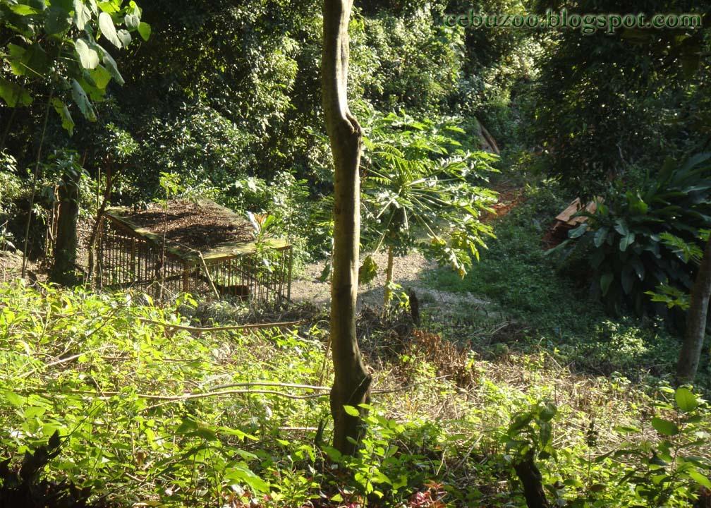 Boggart The Cebu Zoo Tiger