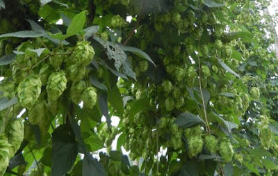 hop plants with ripe cones