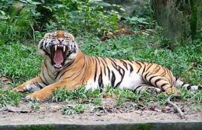 Harimau Malaysia
