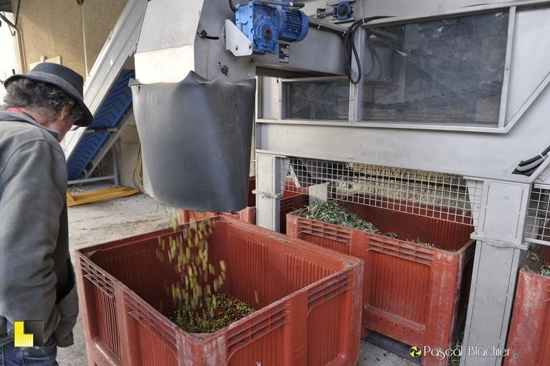 Les olives triées tombent dans le bac photo blachier pascal