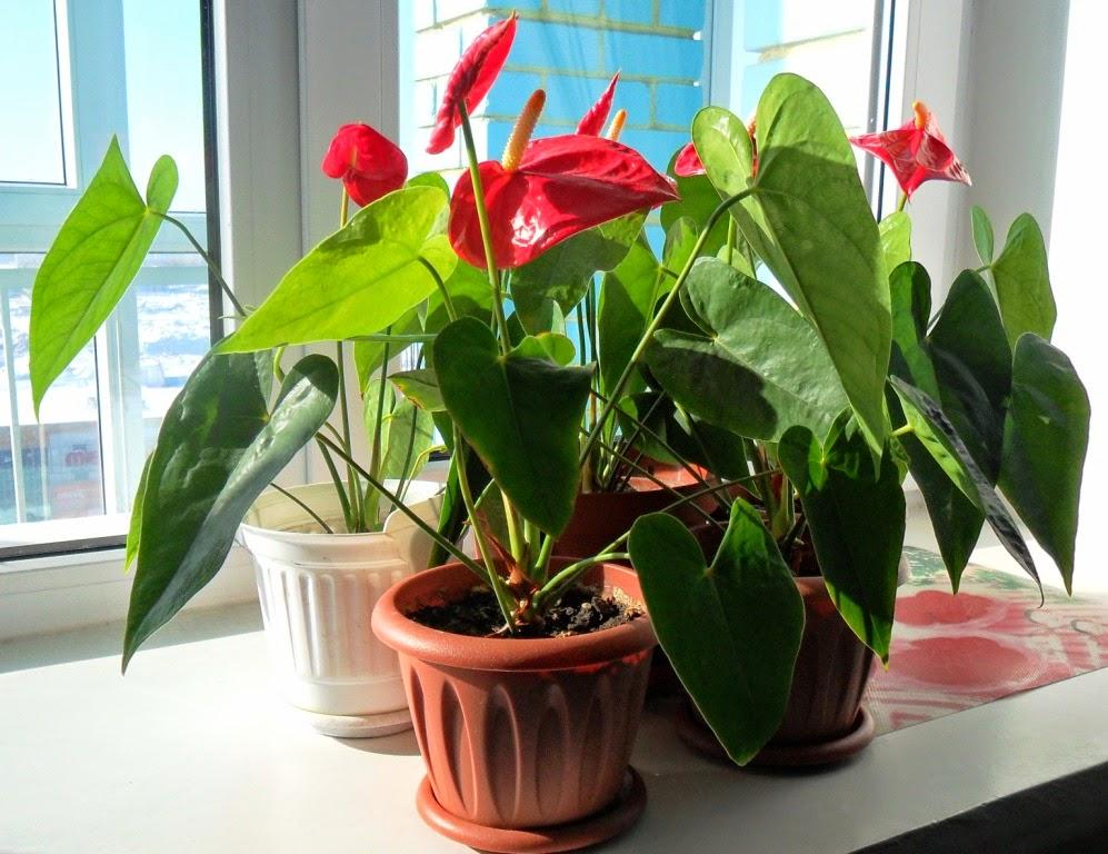 Отводки антуриума подрастают и радуются весеннему солнышку!