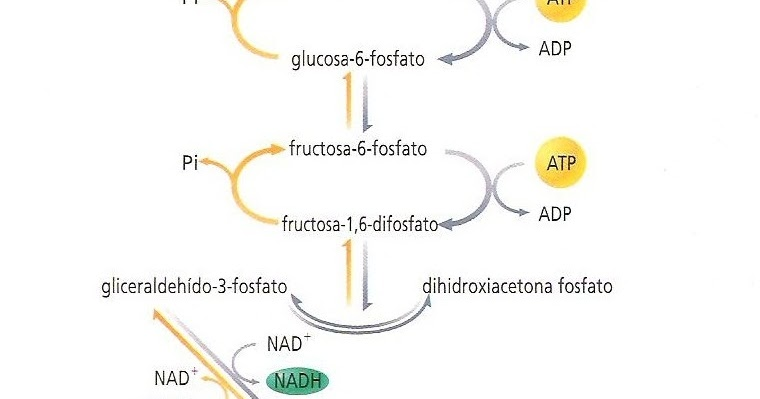 gluconeogenesis anabolico