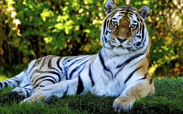 Fotos de Tigres en la Hierva  - Imagenes de Animales Salvajes