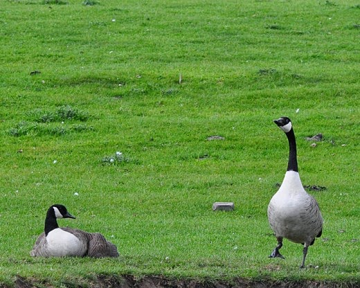 male Canada goose guarding brooding female