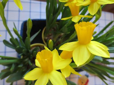 Muonamiehen mökki - Narsissit