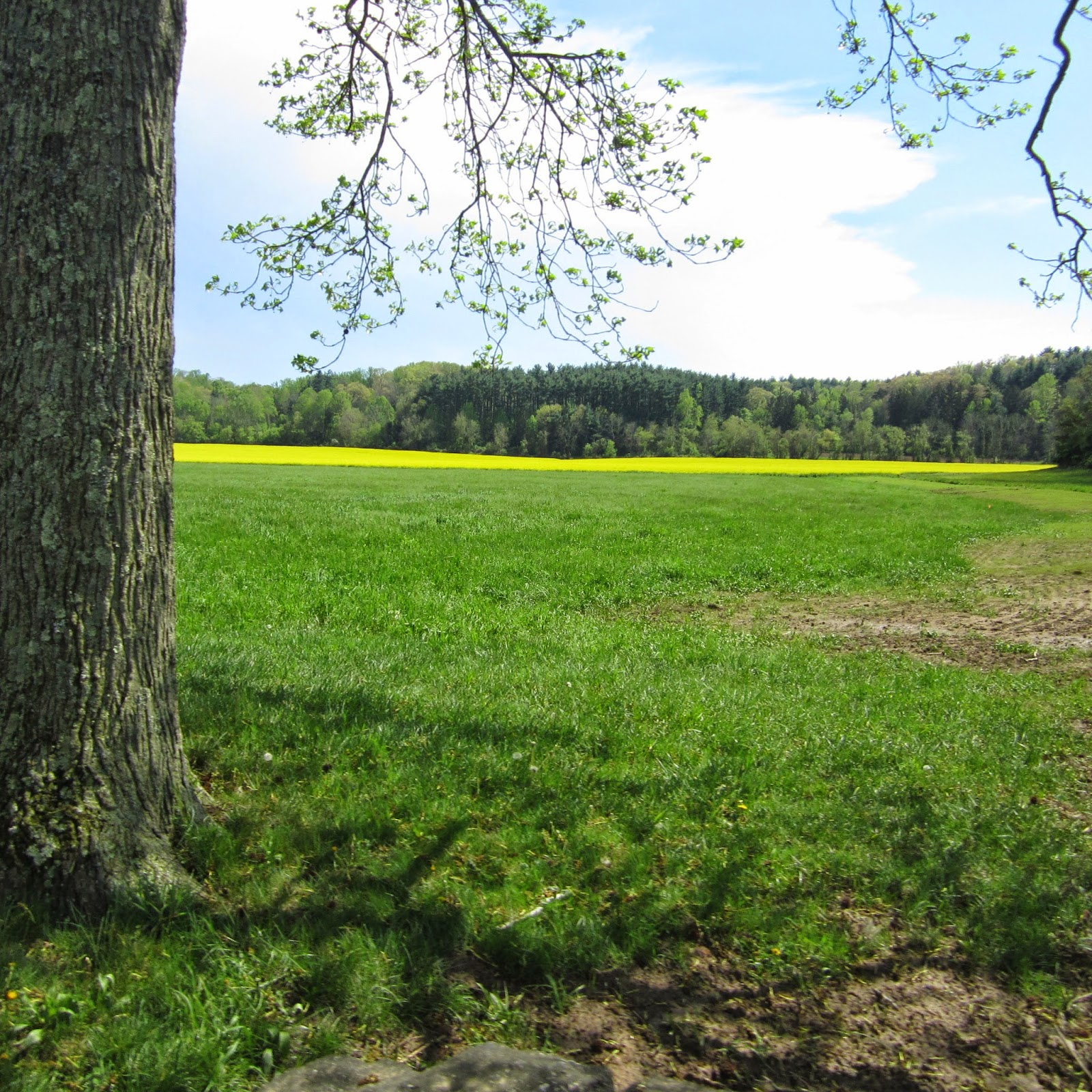canola field Biltmore