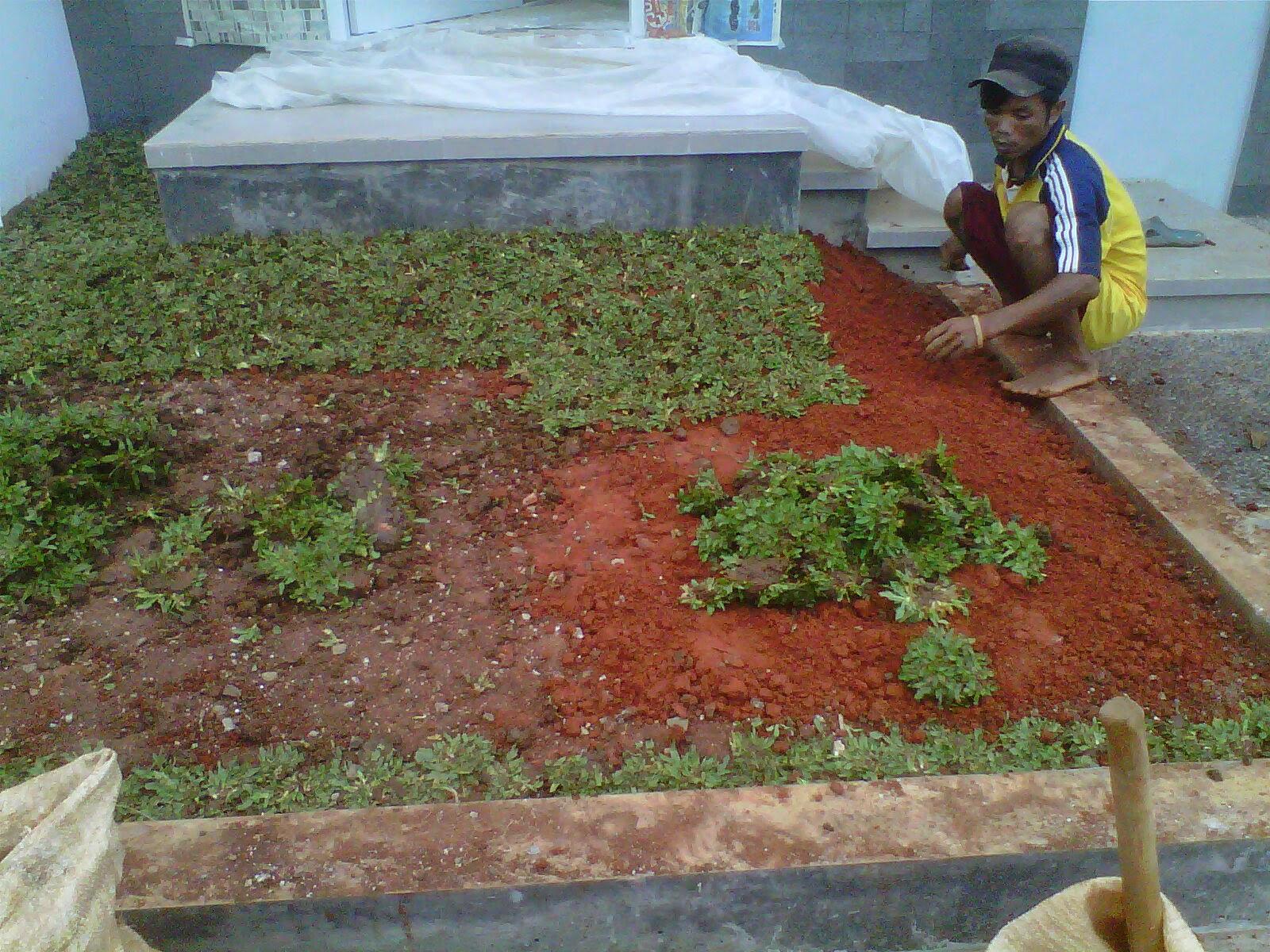taman depan rumah |rumput gajah mini|tukang taman hias | LOVE GREEN