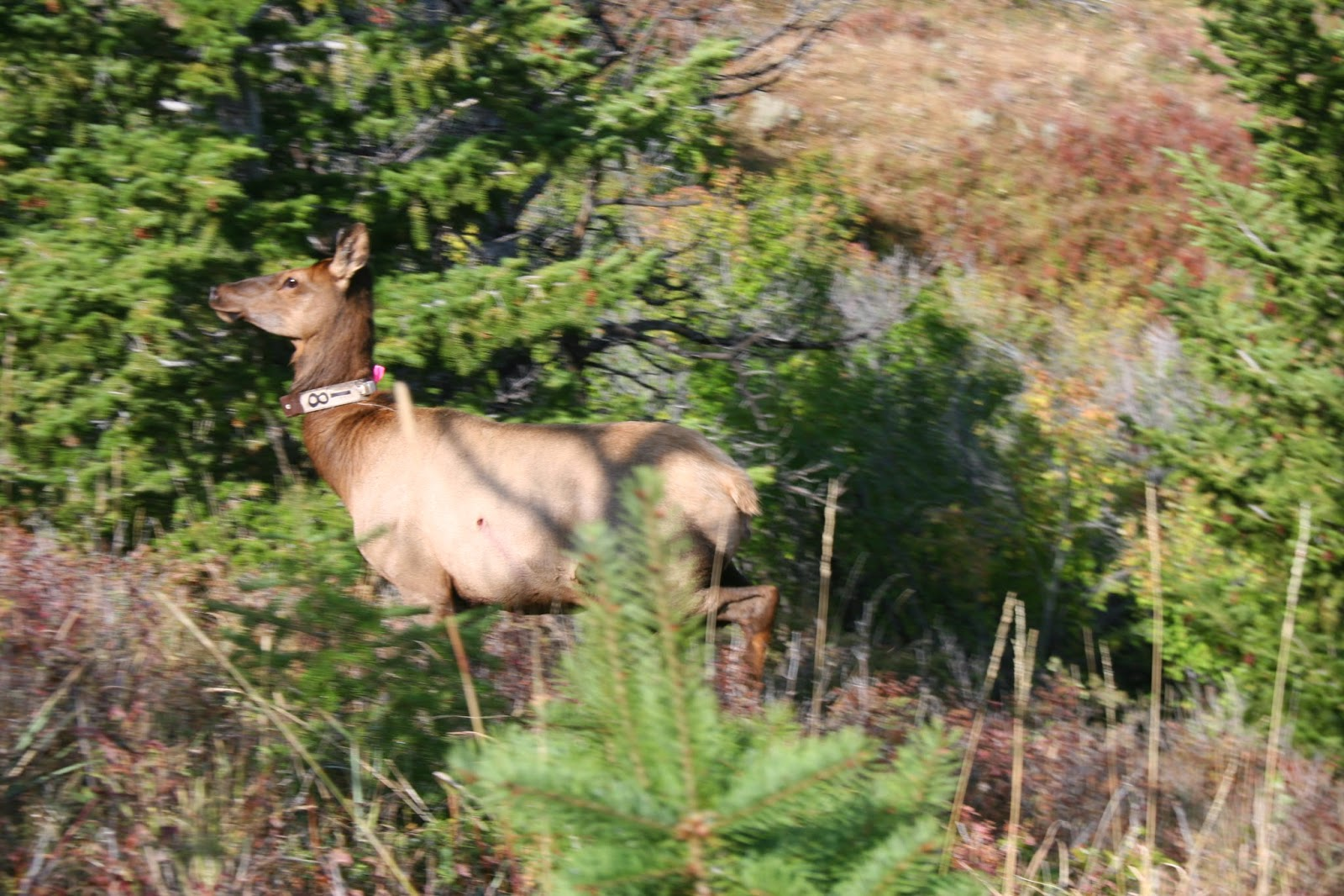 wolves aren t shaping elk feeding behavior as strongly as has once been thought photo arthur middleton