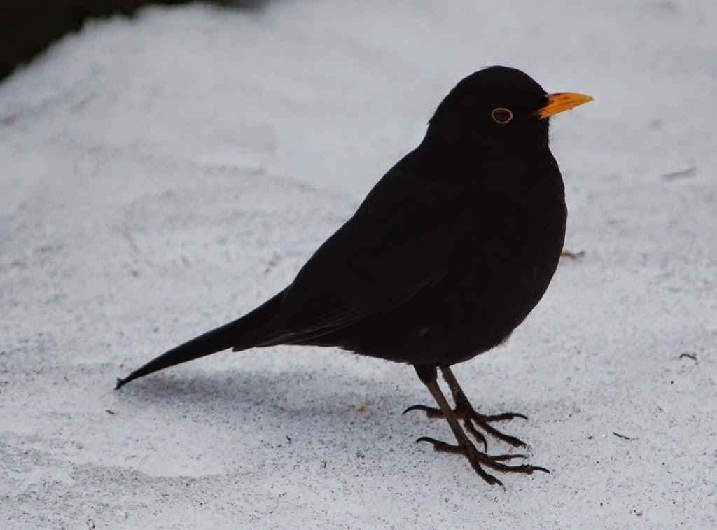 stor norsk fugl