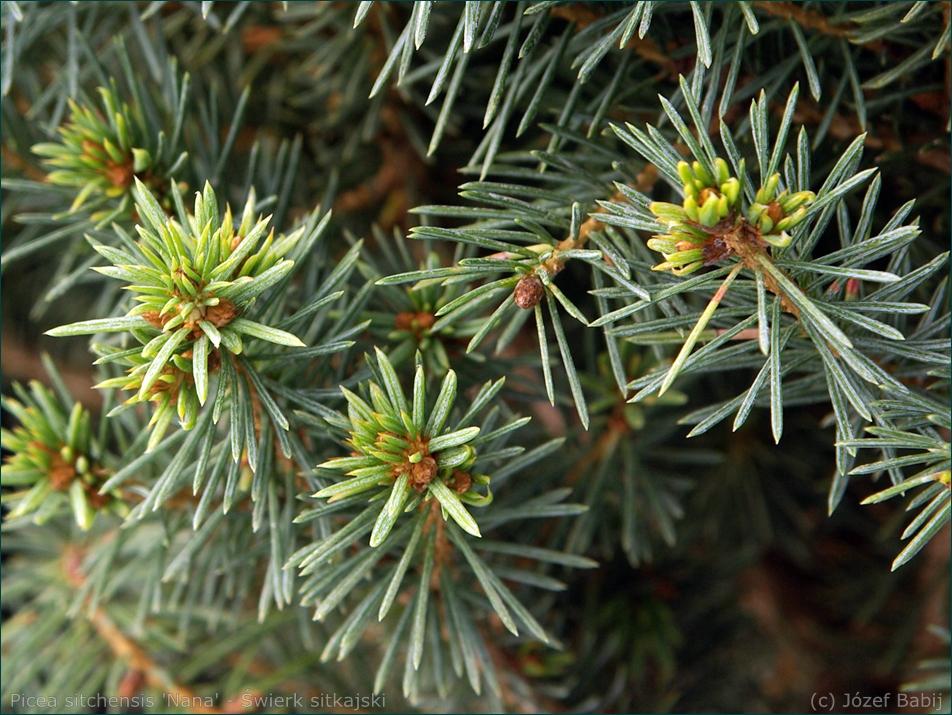 Picea sitchensis 'Nana' - Świerk sitkajski 'Nana' igły
