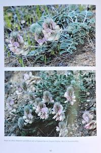 Hedysarum grandiflorum