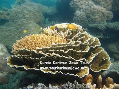 terumbu karang di maer spot karimun jawa