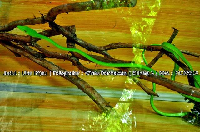 Judul : Ular Hijau || Fotogarfer : Wisnu Darmawan ( Klikmg3 ) Fotogarfer Purwokerto