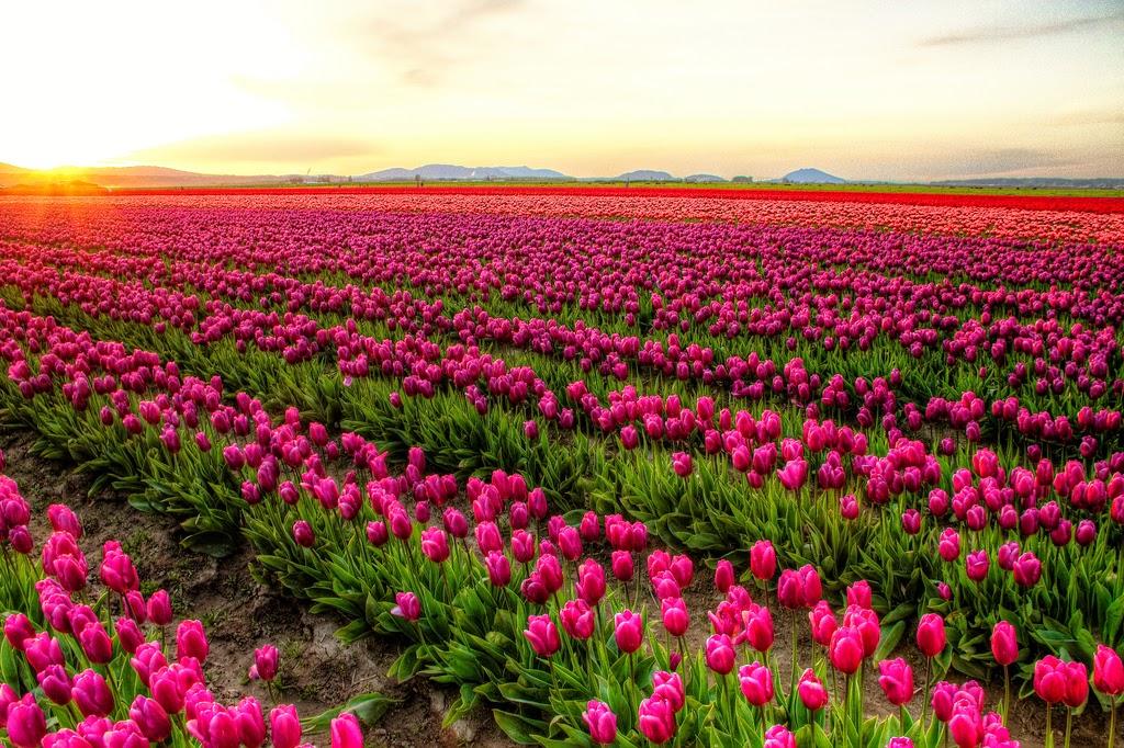 Campos de tulipanes – Holanda