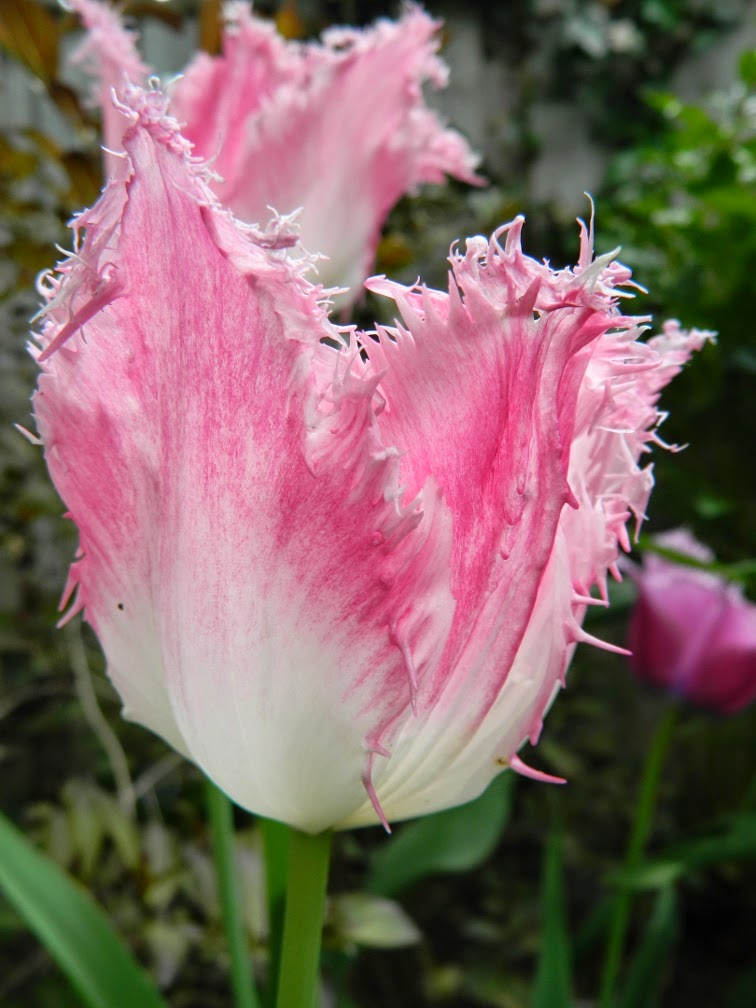 Pink fringed tulip by garden muses-not another Toronto gardening blog