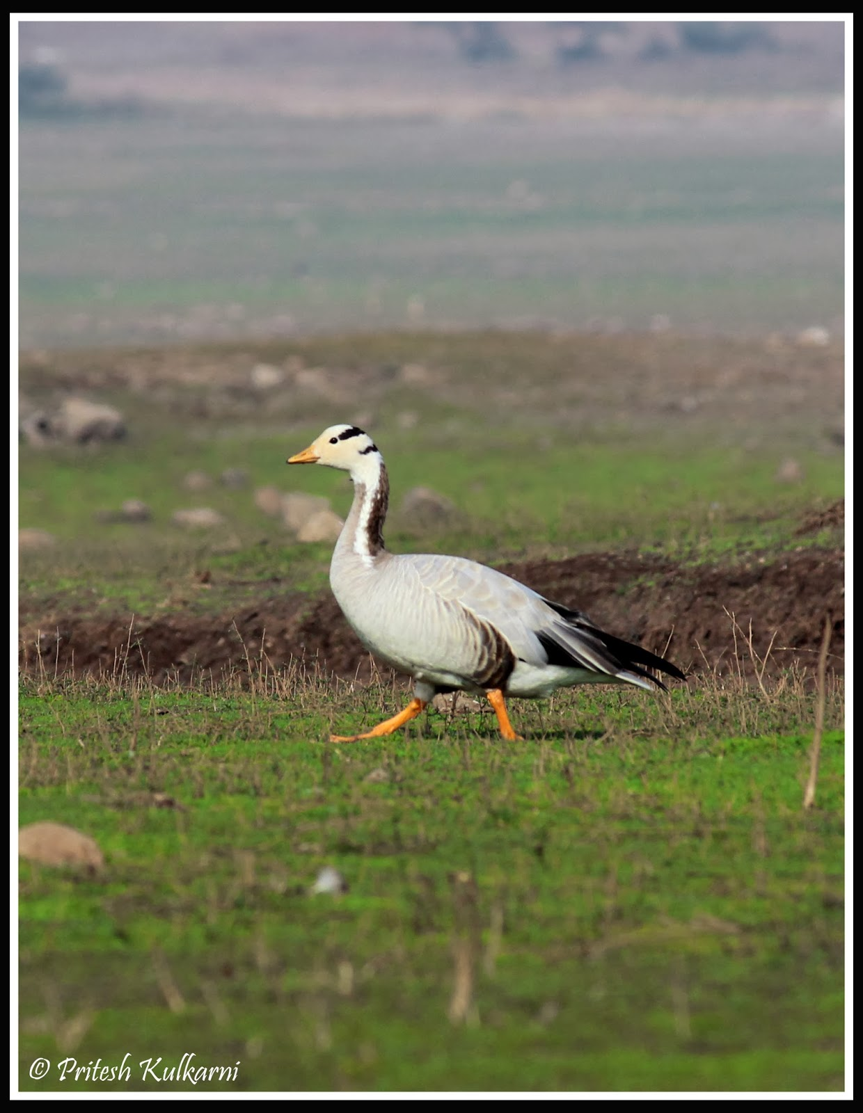 Bar Headed Goose at Veer Dam