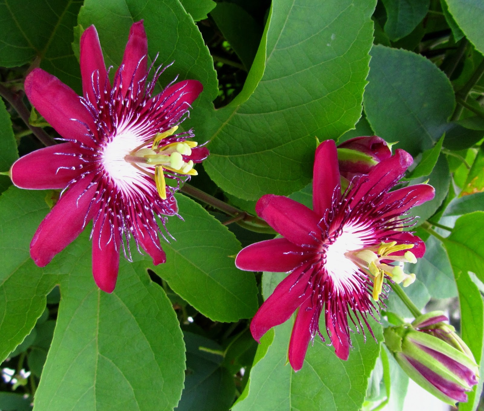 Flowersinsingapore Second Blog Passiflora Lady Margaret