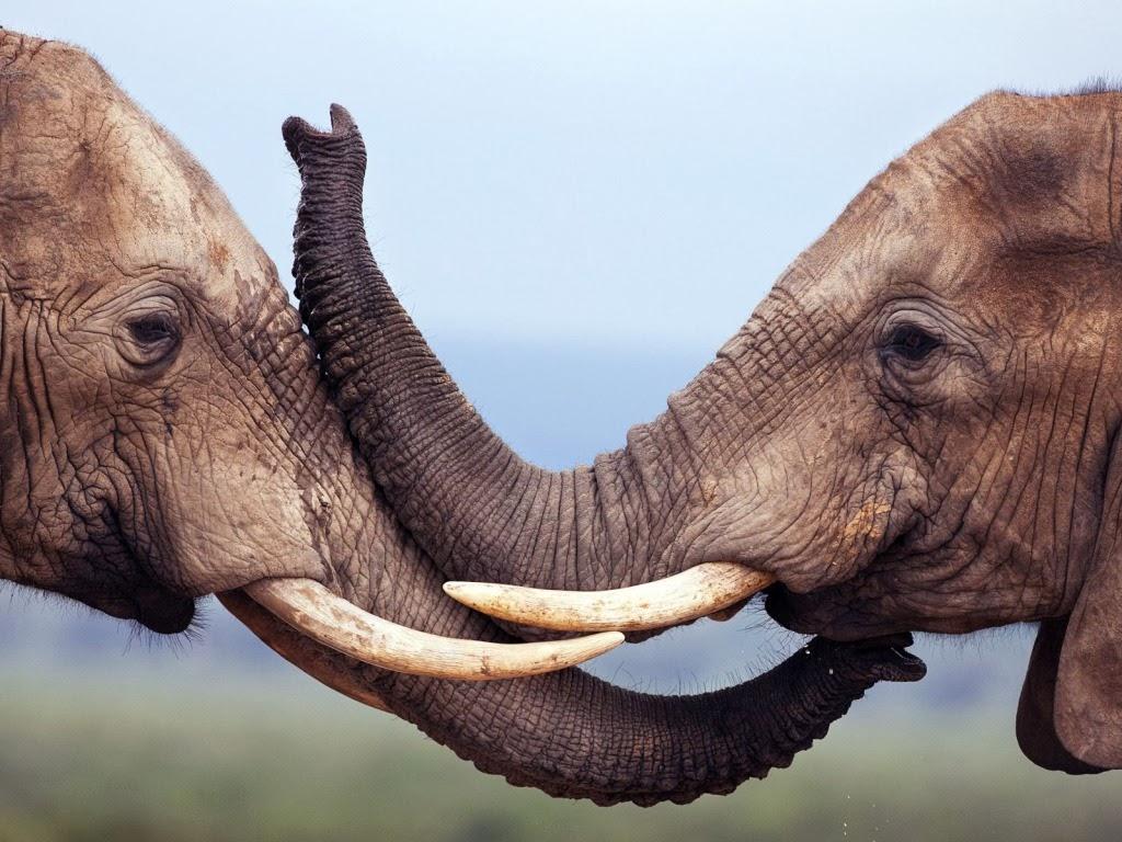 "<img src=""http://2.bp.blogspot.com/-dNfHoLRq60s/UtmWoNjbXlI/AAAAAAAAIq4/Yj8Wnsh7kAw/s1600/animal-wallpapers-elephant-fight.jpeg"" alt=""elephants fighting"" />"