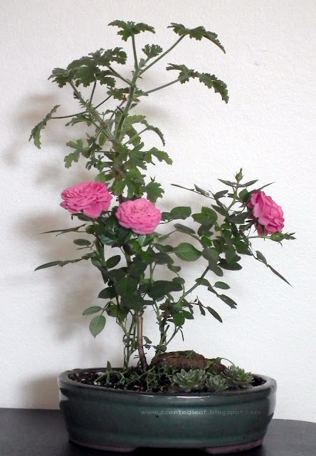 Miniature Garden with pelargonium capitatum, attar of roses, and miniature roses