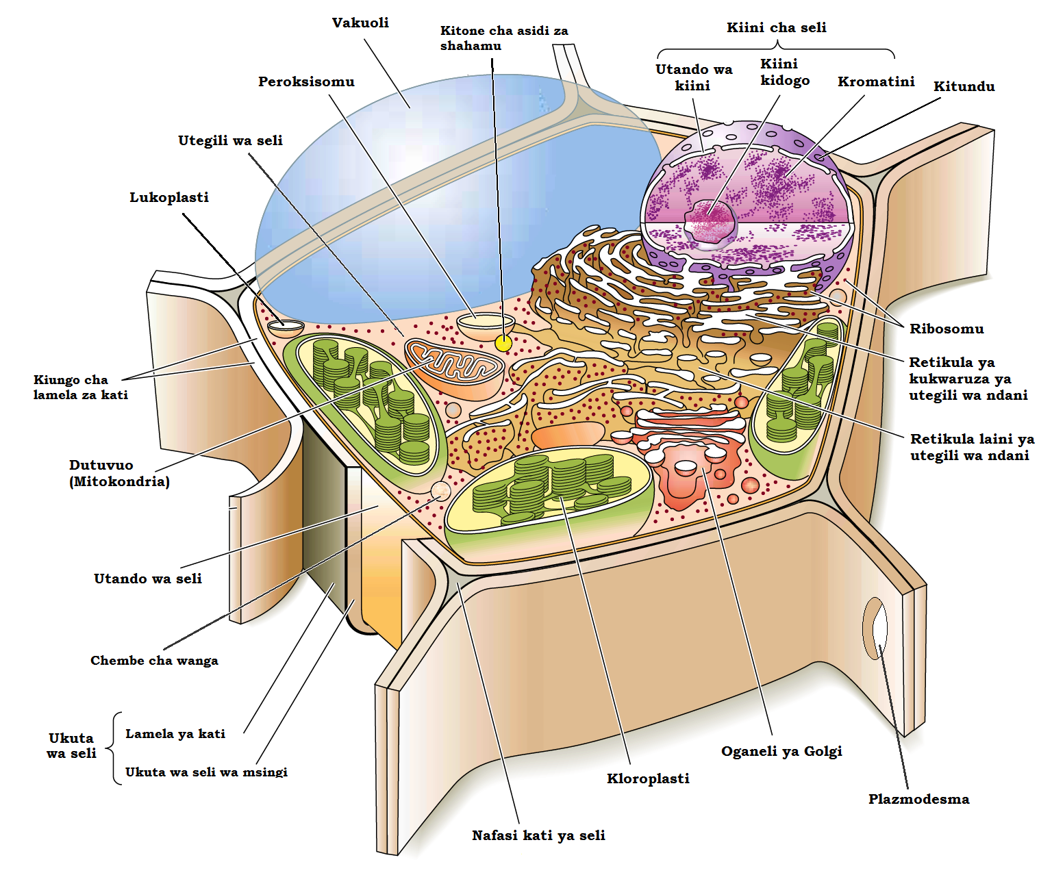 Leucoplast In Plant Cell