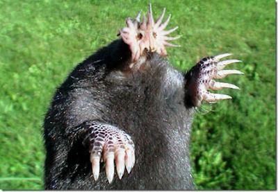 Topo de nariz estrellada (Condylura cristata).