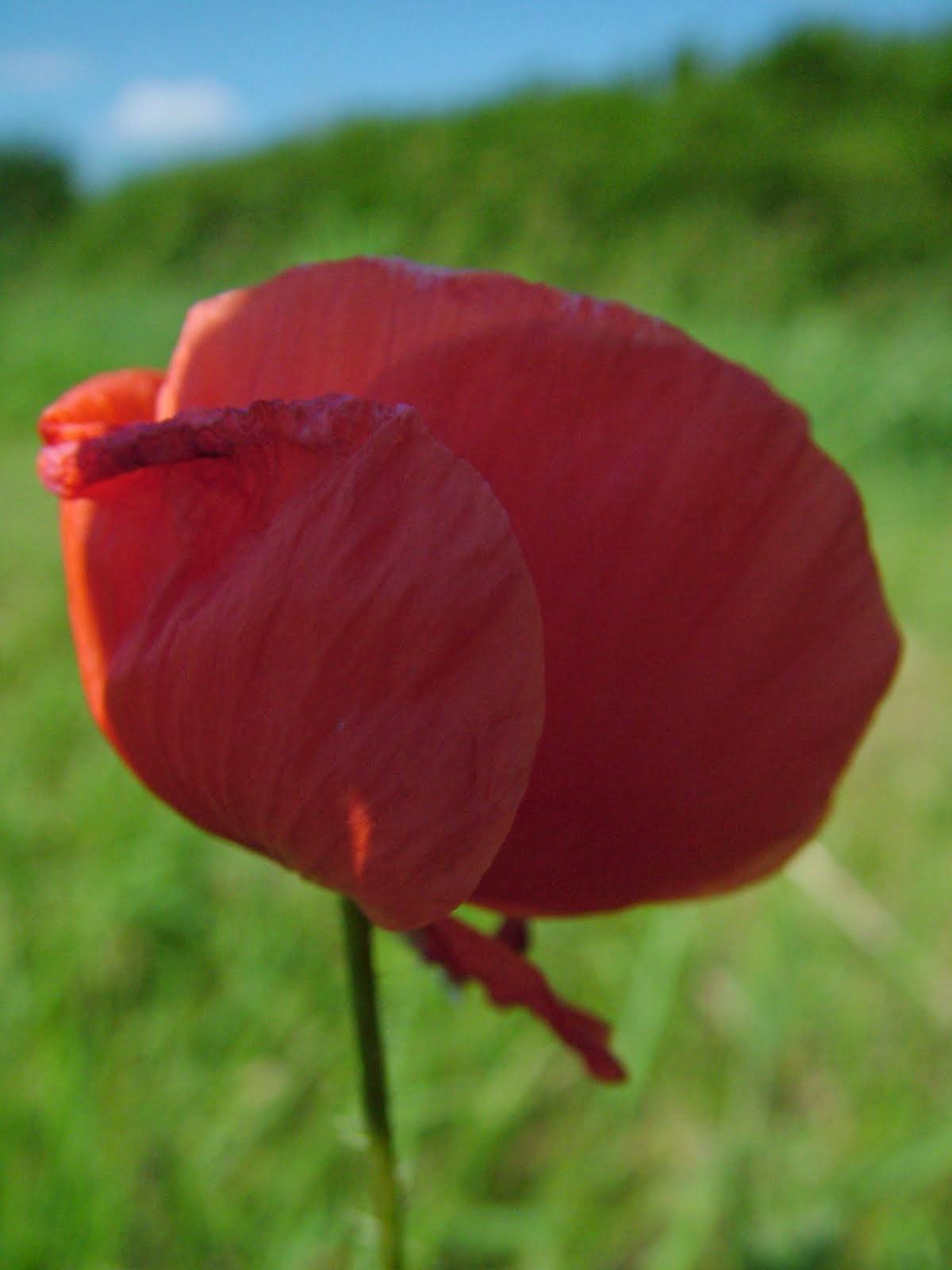 Polný Kvet.