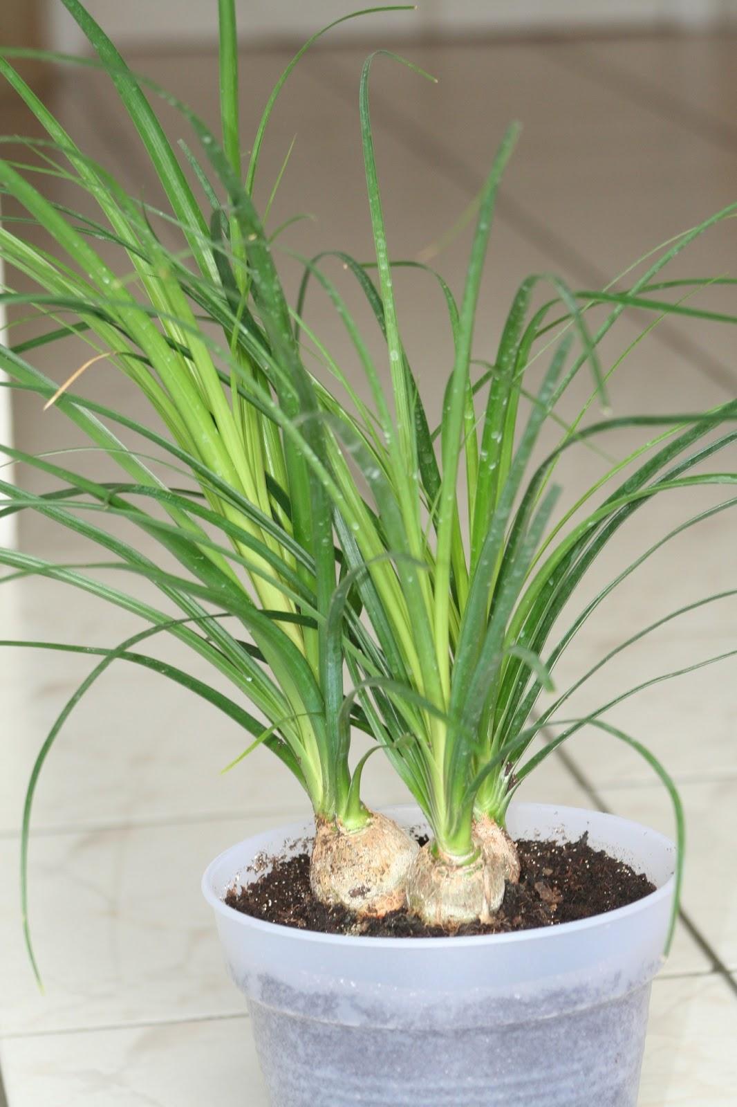 plantwerkz ponytail palm beaucarnea recurvata. Black Bedroom Furniture Sets. Home Design Ideas