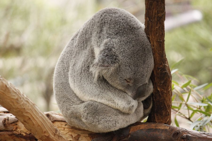 19. Sleeping koala by Randall Vowles
