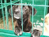 cães para adopção