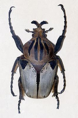 """Escarabajo Goliat o """"Goliathus"""" los Goliathus albosignatus, Goliathus cacicus, Goliathus goliatus, Goliathus goliatus var. conspersus, Goliathus meleagris, Goliathus orientalis el Goliathus regius."""