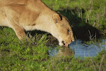 Female Lion Drinking