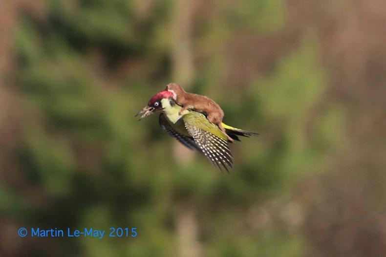 Fotógrafo captura a comadreja cabalgando un pajaro carpintero