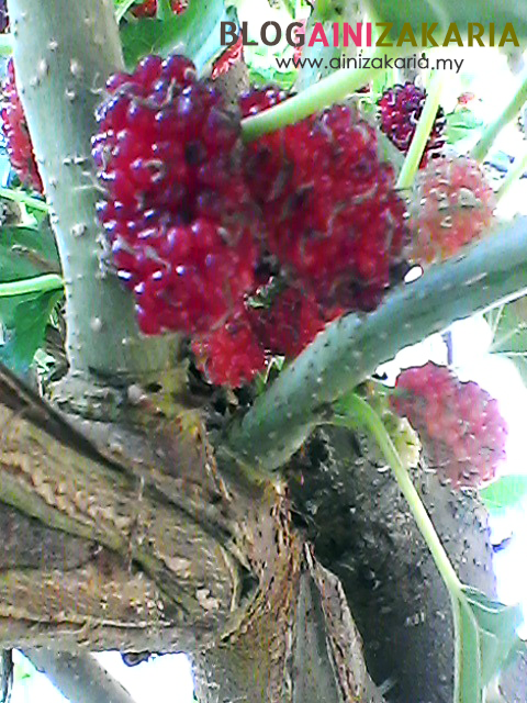 Manfaat pokok buah Malberi