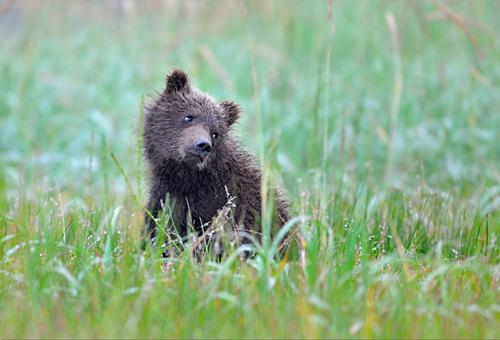 Urso meigo