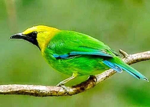 Gambar Cara Merawat Burung Cucak Rante