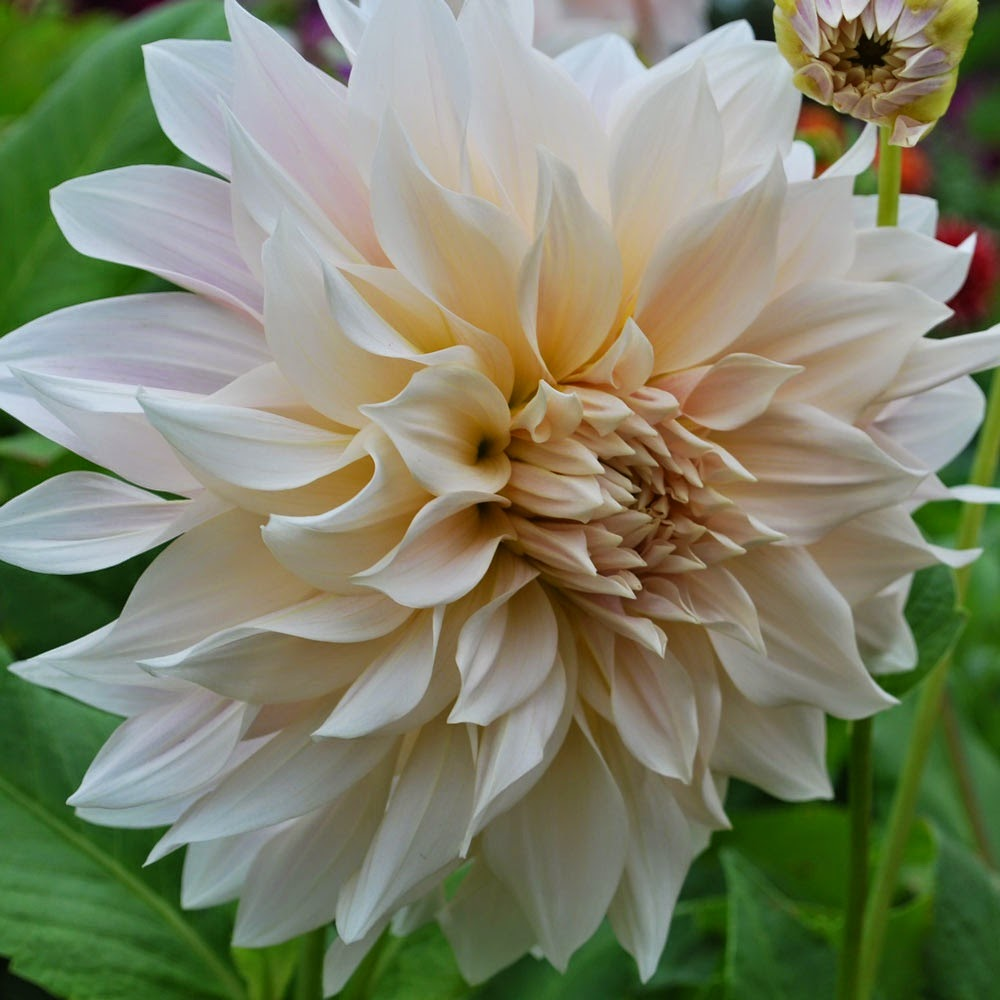 http://www.rosecottageplants.co.uk/dahlia-cafe-au-lait/p701