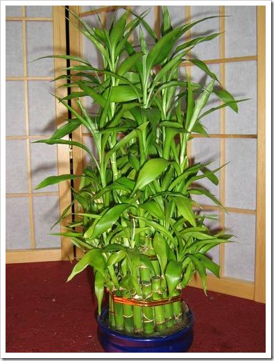 Уход за бамбук в домашних условиях - Kaps-vl.ru