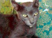 Foto kucing madura atau kucing raas