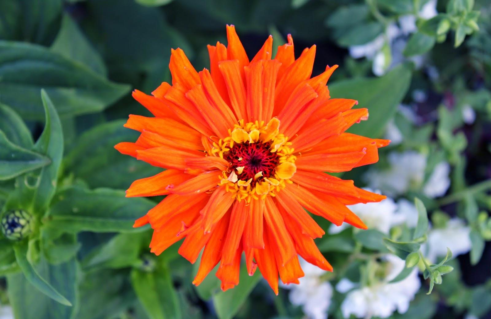 садовые цветы, сибирь