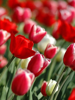 flowers for flower lovers flowers wallpapers for mobile