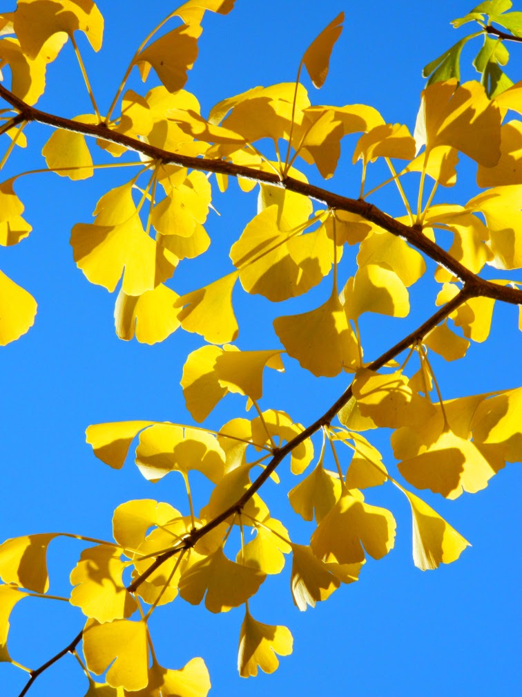 Maidenhair tree Ginkgo biloba autumn leaves Mount Pleasant Cemetery by garden muses-not another Toronto gardening blog